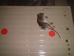 ネズミ捕獲