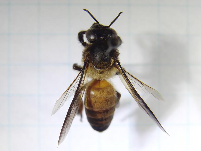オオミツバチ - Apis dorsata